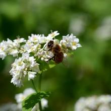 蕎麦の花とミツバチ