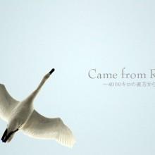 安曇野市 御宝田遊水池の白鳥