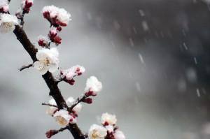 桜に積もる雪 雪中桜花