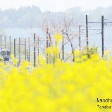 菜の花畑を走る大糸線