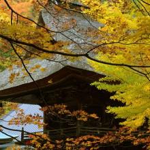霊松寺の紅葉とオハツキイチョウ