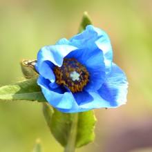 白馬五竜高山植物園 ヒマラヤの青いケシ