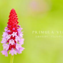 五竜高山植物園の花々 プリムラ・ヴィアリー