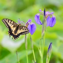 五竜高山植物園の花々  ヒオウギアヤメとアゲハチョウ