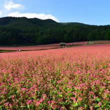 一面ピンク色の蕎麦の花(高嶺ルビー) 上伊那郡蓑輪町の赤そば畑