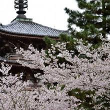 京都醍醐寺の桜(京都府京都市伏見区)