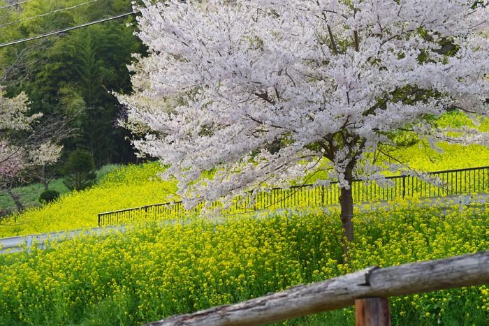 陸郷桜仙峡・夢の郷の桜(長野県池田町)