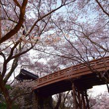 天下第一の桜 高遠城址公園(長野県伊那市)